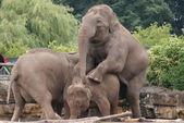 Asian Elephant - Elephas maximus — Stock Photo