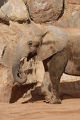 South African Elephant - Loxodonta africana africana — Stock Photo