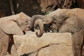 Love of the African Bush Elephant - Loxodonta africana — Stock Photo