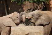Amor del elefante de selva africana - loxodonta africana — Foto de Stock