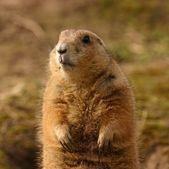 Black-tailed Prairie Marmot - Cynomys ludovicianus — Stock Photo