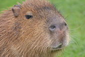 Capybara - Hydrochoerus hydrochaeris — Stock Photo
