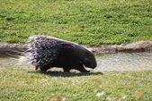 South African Porcupine - Hystrix africaeaustralis — Stock Photo