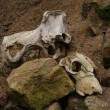 Stock Photo: Remains of Hunt