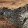 Nile Crocodile - Crocodylus niloticus — Stock Photo