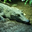 Stock Photo: Philippine Crododile - Crocodylus mindorensis