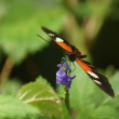 Stock Photo: PostmButterfly - Heliconius melpomene
