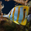 Copperband Butterflyfish - Chelmon rostratus — Stock Photo