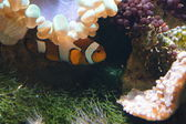 Common Clownfish - Amphiprion ocellaris — ストック写真