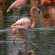 Stock Photo: AmericFlamingo - Phoenicopterus ruber