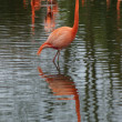 American Flamingo - Phoenicopterus ruber — Stock Photo #27780793