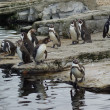 Stock Photo: Humboldt Penguin - Spheniscus humboldti