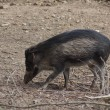 Visayan Warty Pig - Sus cebifrons — Stock Photo