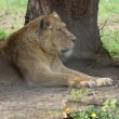 Stock Photo: Asiatic Lion - Pantherleo persica
