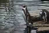 Tučňák humboldtův - spheniscus humboldti — Stock fotografie