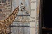 Girafa - giraffa camelopardalis — Foto Stock