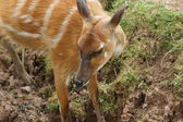 Sitatunga - Tragelaphus spekii — Stock Photo