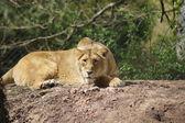 Asya aslanı - panthera leo persica — Stok fotoğraf
