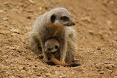 Suricate - suricata suricatta — Photo