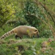 Stock Photo: Ring-tailed Coati - Nasunasua