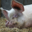 Stock Photo: Middle White Sow - Domestic Pig - Sus scrofdomesticus
