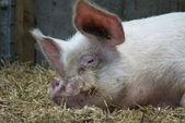 中央の白い雌豚 - 国内豚 - sus イノシシ ドメスティクス — ストック写真