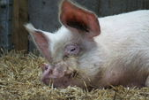 Middle White Sow - Domestic Pig - Sus scrofa domesticus — Stock Photo