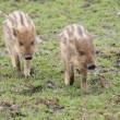 Wild Boar Piglet - Sus scrofa — Stock Photo