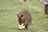 Red-necked Wallaby - Macropus rufogriseus — Stock Photo