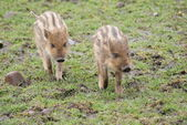 Wild Boar Piglet - Sus scrofa — Stock Photo