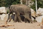 Asya fili - elephas maximus — Stok fotoğraf