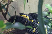 红树林蛇-boiga dendrophila — 图库照片
