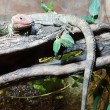 Northern Caiman Lizard - Dracaena guianensis — Stock Photo