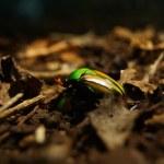 Flamboyant Flower Beetle - Eudicella gralli — Stock Photo #28020551