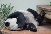 Giant Panda - Ailuropoda melanoleuca — Stock Photo