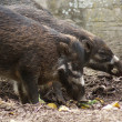 Negros Warty Pig - Sus cebifrons negrinus — Stock Photo