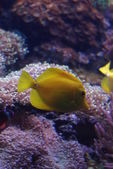 Yellow Tang - Zebrasoma flavescens — Stock Photo