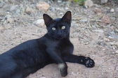 Feral Domestic Cat — Stock Photo