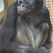 Stock Photo: Variegated Spider Monkey - Ateles hybridus