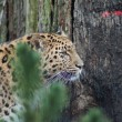 Stock Photo: Amur Leopard - Pantherpardus orientalis