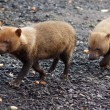 Stock Photo: Bush Dog - Speothos venaticus