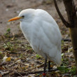 Cattle Egret - Bubulcus ibis — Stock Photo