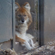 Stock Photo: Dhole - Cuon alpinus