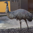 Stock Photo: Emu - Dromaius novaehollandiea