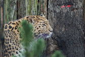 Amur Leopard - Panthera pardus orientalis — Stock Photo