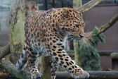 Amur Leopard - Panthera pardus orientalis — Stock Photo