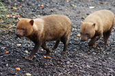 Bush Dog - Speothos venaticus — Stock Photo