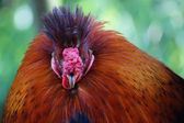 Chicken - Gallus gallus — Stock Photo