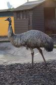 Emu - Dromaius novaehollandiea — 图库照片