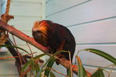 Golden-headed Lion Tamarin - Leontopithecus chrysomelas — Stock Photo